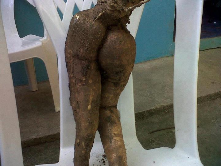 Cuerpo de yuca