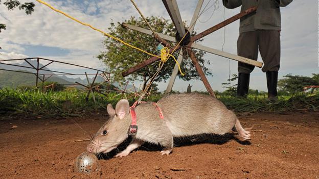Ratas-Héroe1