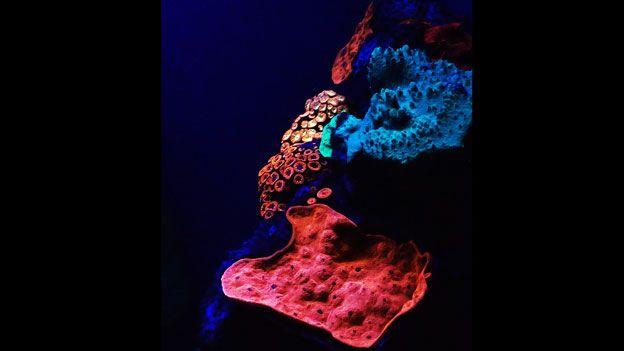 Coral-Fluorescente2