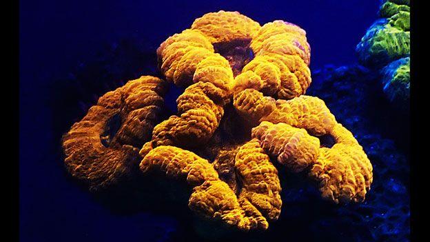 Coral-Fluorescente5