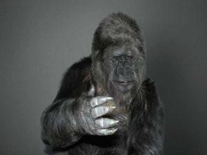 Koko-Gorila