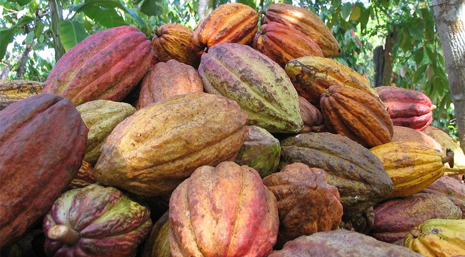 cacao-venezolano