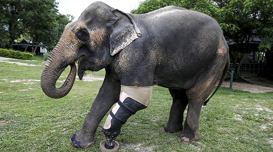 prótesis-para-un-elefante