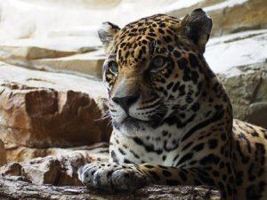 Encuentra-al-leopardo-escondido