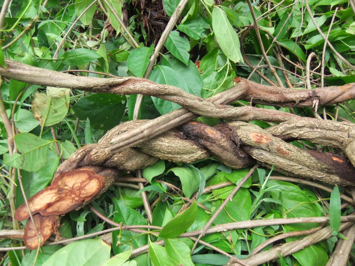 enredadera de ayahuasca