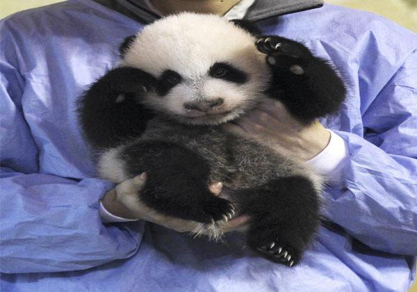 oso-panda-peligro-de-extinciòn