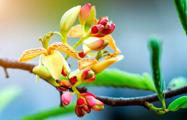 flor-tamarindo