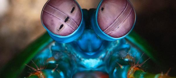 camaron mantis