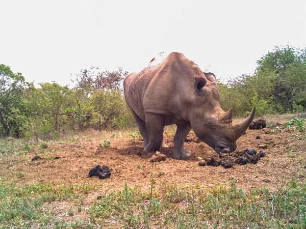 rinoceronte oliendo heces