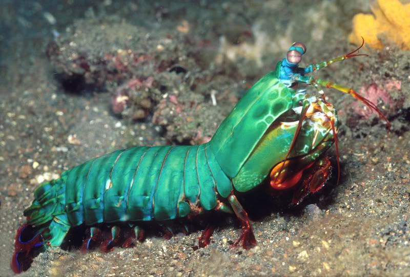 tamaño del camaron mantis