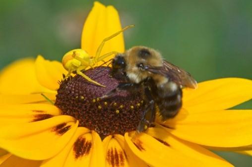 abejafloramarilla