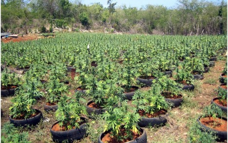 la mayor cosecha de marihuana