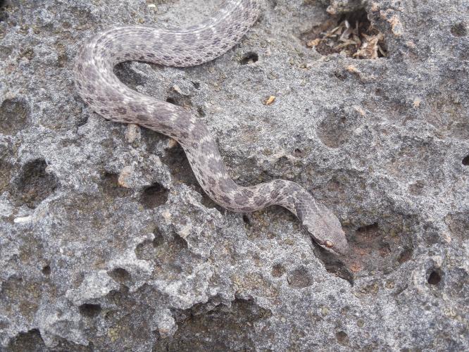 Serpiente nocturna en su territorio