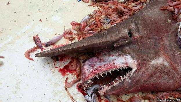 Foto de tiburón duende en una red llena de camarones