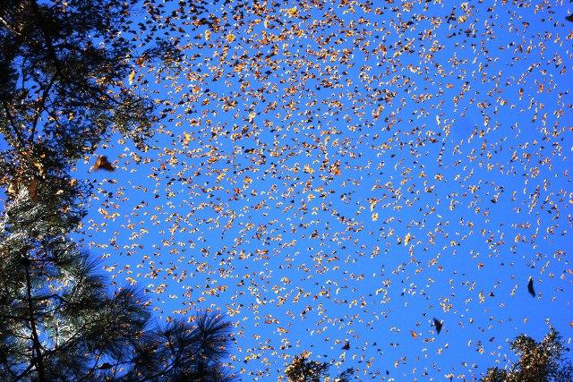 maripozas monarca