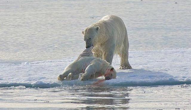 Osos polares caníbales
