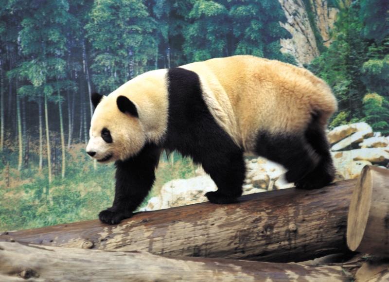 Osos pandas chinos