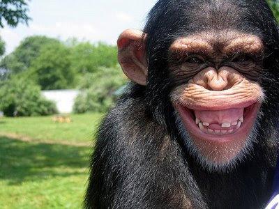 Chimpancés: A la moda