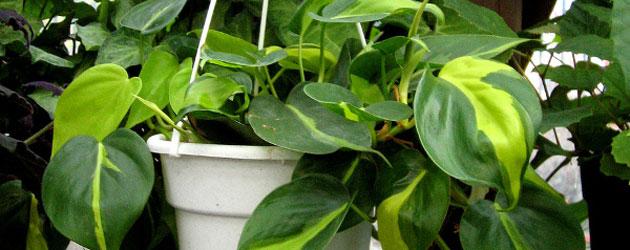 Plantas para interiores: Filodentro