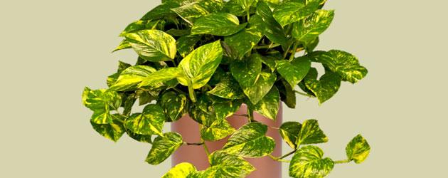 Planta para interior: Potus dorado