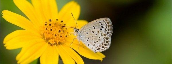 Mariposa Zizeeria en flor