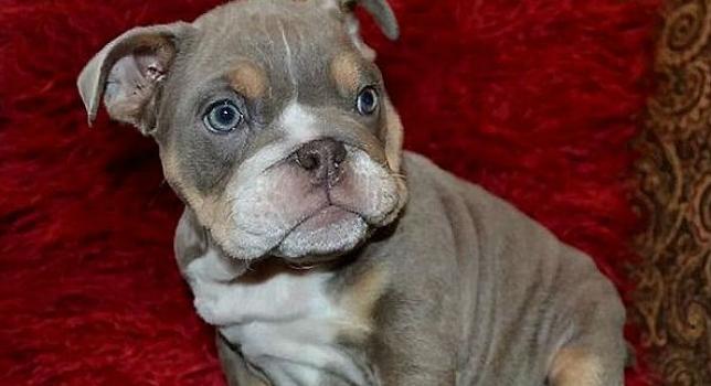 Bulldog Lila