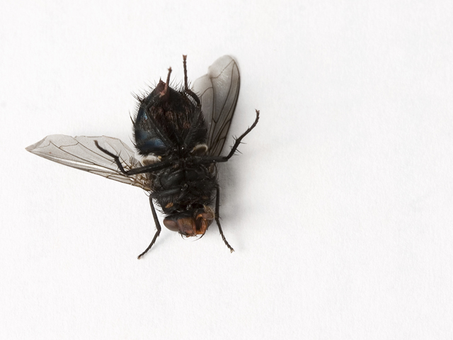 una mosca se posa en tu comida